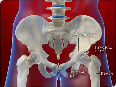 joint-anche-anatomia
